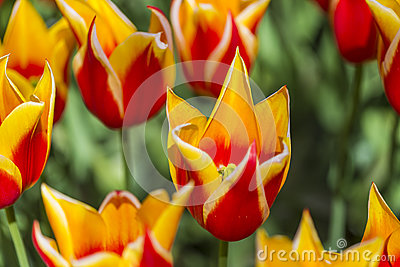 Closeup of Dutch yellow -Red Tulips of Sort SYNAEDA KING