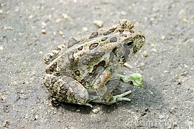 Fowler`s Toad