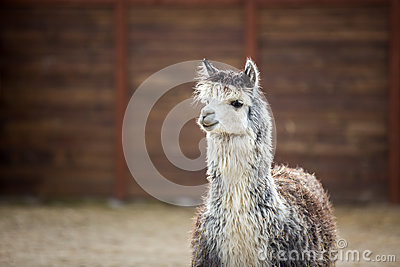 The South American pack-animal of the family. Camels with valuable wool