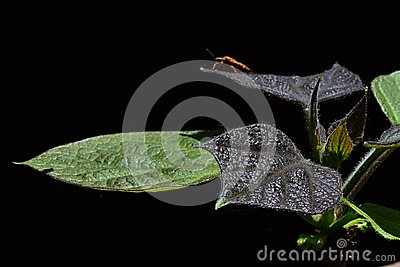 Young and older leaves of yellow catalpa Catalpa Ovata on dark background, beetle of heteroptera family on rear leaves