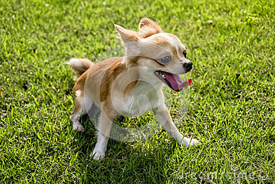 Chihuahua puppy Walk on the lawn