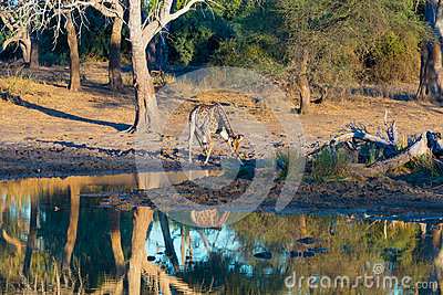 Giraffe drinking from waterhole at sunset. Wildlife Safari in the Mapungubwe National Park, South Africa. Scenic soft warm light.