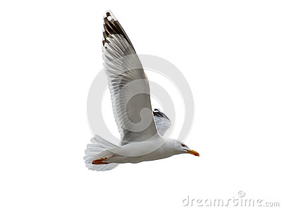 A seagull bird flying isolated on white background