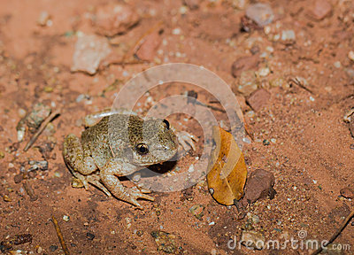 Midwife Toad on the ground