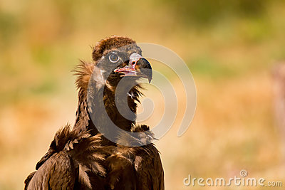 Portrait of a wild black vulture