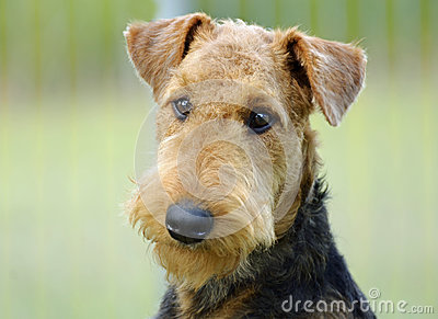 Portrait young Airedale Terrier dog green background