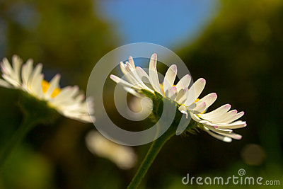 Closeup of beautiful white daisy flowers with a blue sky.