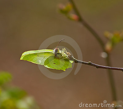Brimstone Butterfly laying