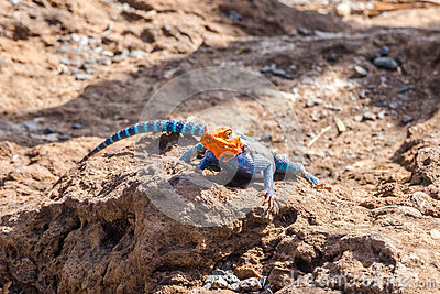 Agama agama or common red-headed rock lizzard