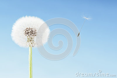 Concept of freedom. Dandelion with seeds flying away with the wind. Copy space, blue sky