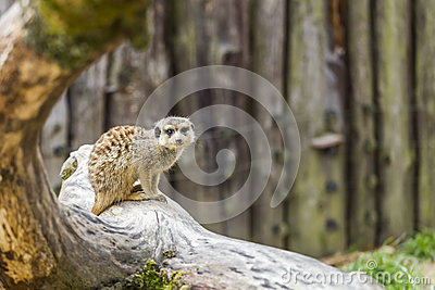A meerkat on a tree trunk
