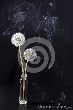 The Detail of past bloom dandelion with smoke on black blur background