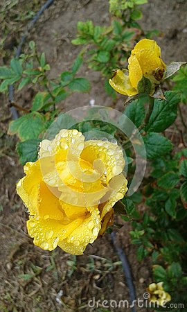 Rain-kissed Yellow Rose