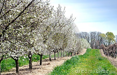 Neat rows of flowering cherry trees and grape vines