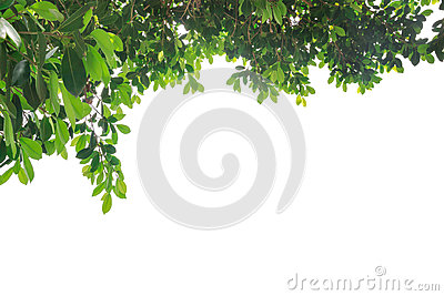 Branch of green leaf isolated on white background