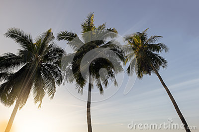 Coconut palm trees at sunset