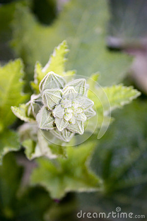 Flower bud . Nature is a bizarre plant