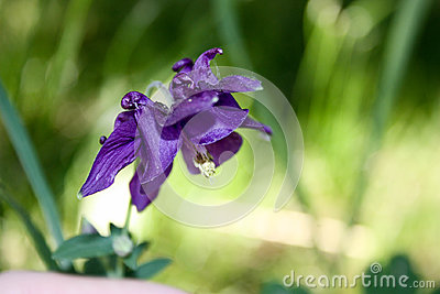 Flower purple bell. Nature is a bizarre plant