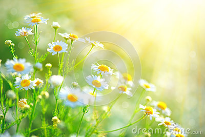 Chamomile field flowers border. Beautiful nature scene