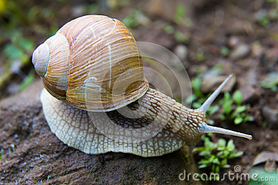 Snail gastropod mollusk with spiral sheath