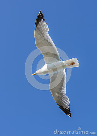 Seagull flying against the blue sky