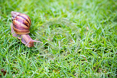 A snail with its shell house moving Slowly on green grass.