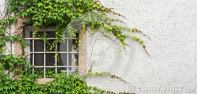Old window with a lattice covered with grape leaves, a minimalistic view with a white textured wall background