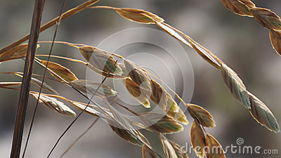 Sea Oats Closeup