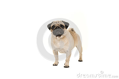 Standing adult pug looking at the camera