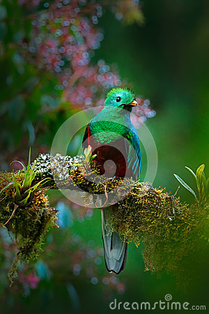 Magnificent sacred green and red bird. Birdwatching in jungle. Beautiful bird in nature tropic habitat. Resplendent Quetzal, Pharo