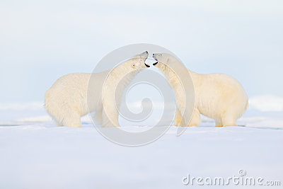 Two polar bears fight on the ice. Animal behaviour in Arctic Svalbard, Norway. Polar bear conflict with open snout in Svalbard. Co