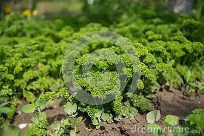 Petroselinum crispum - Fresh curly parsley on the ground close-up in garden.