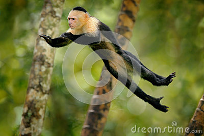 Monkey jump. Mammal in fly. Flying black monkey White-headed Capuchin, tropic forest. Animal in the nature habitat, humorous behav