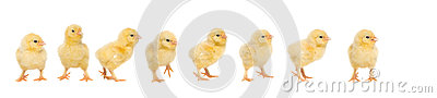 Eight yellow baby chick walking behind each other
