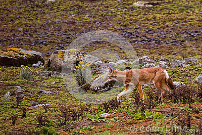 Ethiopian Wolf hunting in Bale Mountains National Park