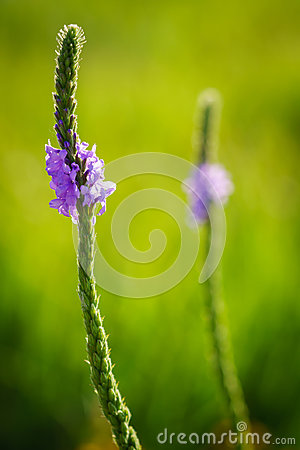 Backlit Hoary Vervain Wildflowers