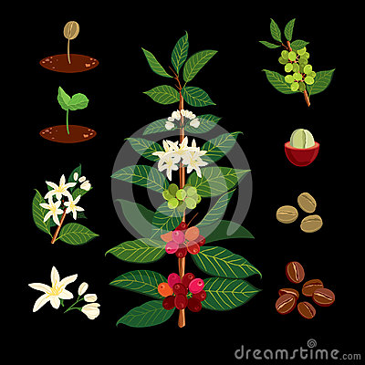 Coffee branch on the background of the map. Plant with leaf, flowers, berry, fruit, seed.
