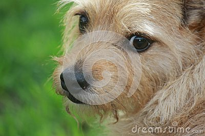 Buddy the Cairn Terrier