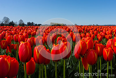 Red Tulip Fields