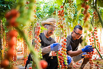 Two men agriculture farm workers cheking and collect harvest of cherry tomato in greenhouse