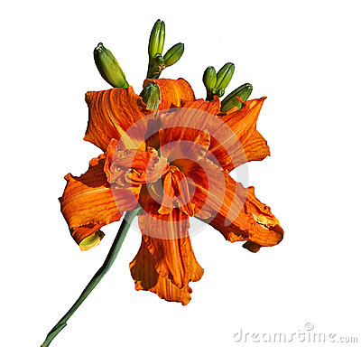 Large Tiger-lily