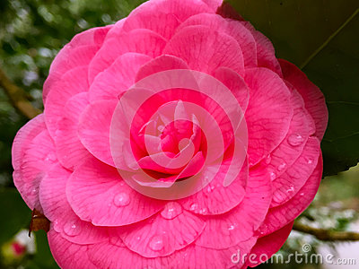 Pink Camellia with Morning Dew