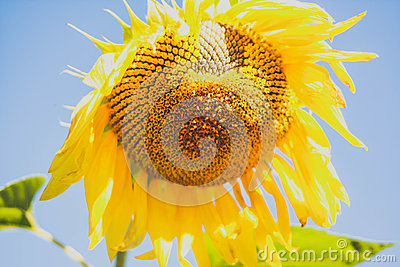 Bright yellow sunflower on blue sky background , colorful , colored