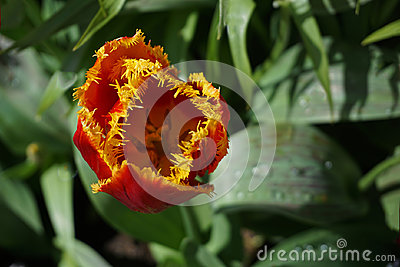 Bright Red and Yellow Tulip