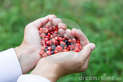Woman hands holding handful ripe fresh forest berries in heart shape. Blueberry and wild strawberry in human palm.