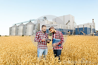 Two farmers stand in a wheat field with tablet. Agronomists discuss harvest and crops among ears of wheat with grain