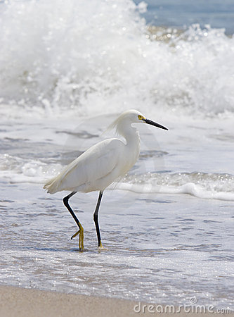 Snowy Egret and wave