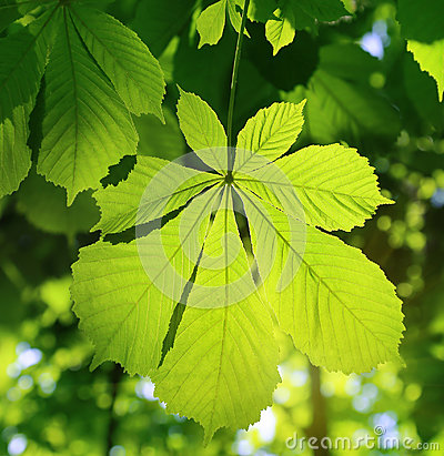 Fresh green chestnut leaf