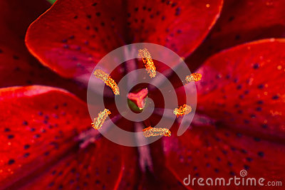 Red lily flower closeup view