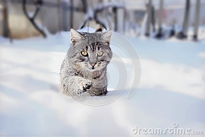 Tomcat in the snow